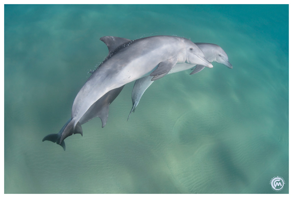 A pair of bottlenose dolphins