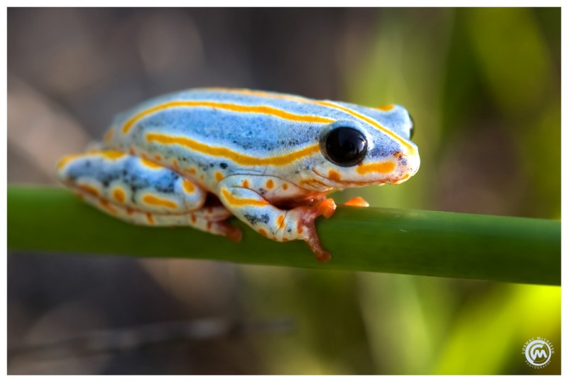 Reed frog hiding in the reeds at Lake Piti in southern Mozambique